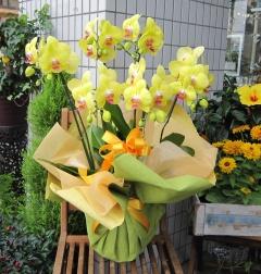 珍しい 黄色系胡蝶蘭 レモンハート 5?6本立ち