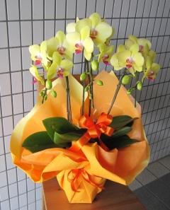珍しい 黄色系胡蝶蘭 レモンハート 3本立