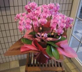 ミディー(小~中輪) ピンク系胡蝶蘭 3本立