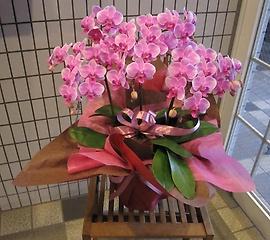 ミディー(小?中輪) ピンク系胡蝶蘭 3本立