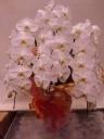 3本立 胡蝶蘭