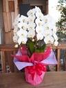 コチョウラン(胡蝶蘭)ホワイト三本立 20輪以上