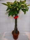 観葉植物 'パキラ'