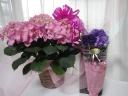ピンク紫陽花鉢とムーンダスト花束の母の日ギフト
