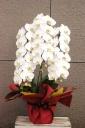 白 3本立ち 胡蝶蘭