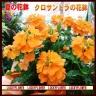 """夏の花鉢""""クロサンドラ"""
