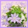 クレマチスの花鉢(テッセン)