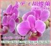 ミディコチョウラン(ピンク系)ミニ観葉植物付き