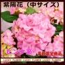 季節の花鉢 あじさい『ピンク』籠付き