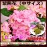 季節の花鉢 あじさい『ピンク』籠付 お茶のケーキ