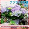季節の花鉢 あじさい『青』籠付き