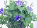 punto. クレマチス 紫