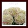 ◆母の日限定◆西洋アジサイ「ジューンブライド」