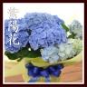 西洋アジサイ 「毬咲き ブルー」