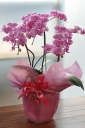 「母の日」-ミニ コチョウラン ピンク系-