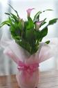 「母の日」-カラーの鉢植え ライトピンク-