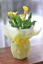 「母の日」-カラーの鉢植え ライトイエロー-