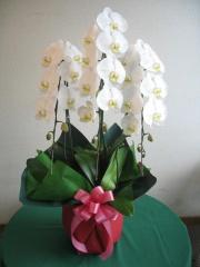 お祝いに・・・<白コチョウラン鉢>
