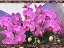hana*PLAZA -Orchid-
