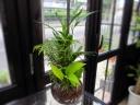 観葉植物の寄せ植え、ガラスボール入り