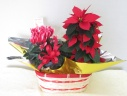 ポインセチアとミニシクラメンの寄せ鉢