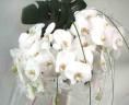 【ファレノプシス】胡蝶蘭の花束