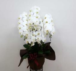【ピュアホワイト】 特選5本立ち胡蝶蘭