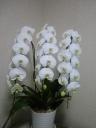 人気の白胡蝶蘭3本立てです。決算価格