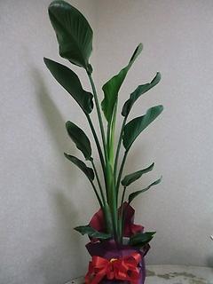 人気の観葉植物・オーガスタ8号鉢です。
