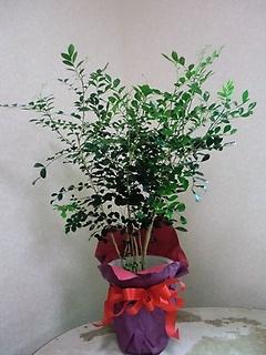 人気の観葉植物・ゲッキツ8号鉢です。