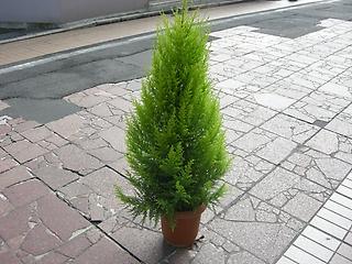 ゴールドクレスト~手づくりクリスマスツリーに~