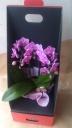 カワイイミディ胡蝶蘭のギフトBOX