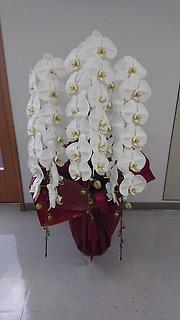 プレミアム胡蝶蘭