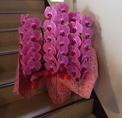 大輪胡蝶蘭 ピンク