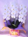「胡蝶蘭 (白)」  蘭の鉢植え