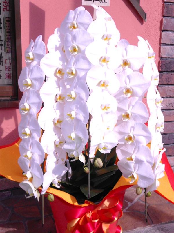 「胡蝶蘭 (白)3本立ち」 蘭の鉢植え「フラワーショップ花一期 ...