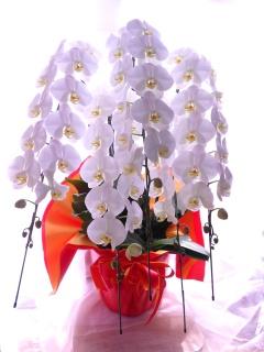 開店、開業、昇格祝いに「胡蝶蘭5本立ち」蘭の鉢植え