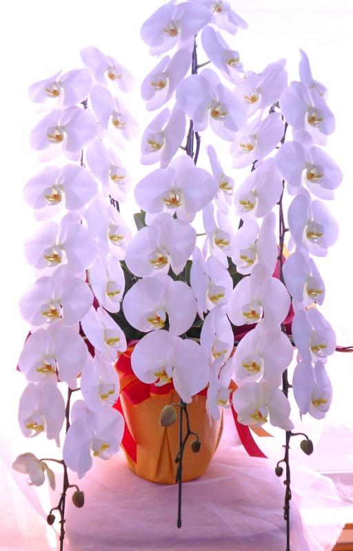 「胡蝶蘭 (白)」 蘭の鉢植え「フラワーショップ花一期~はな ...