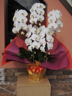 「胡蝶蘭5本立ち」  蘭の鉢植え