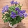 母の日 クレマチス 紫 5号サイズ