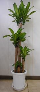 【幸福の木】ドラセナ・マッサンゲアナ 10号鉢