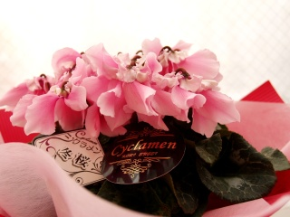 レア物!変わり咲きシクラメン・冬桜ライトピンク