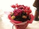 丸いお花とコントラストが奇麗なシクラメンの寄せ鉢
