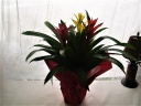 トロピカルな花色と花持ちの良さが人気のグズマニア
