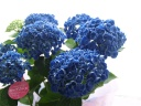 ユニークな花のカタチのアジサイ・ポップコーンブルー