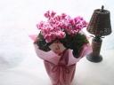 花のコントラストが印象的なシクラメン・アバニコ