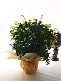 次々と黄色のお花を楽しませてくれる。エニシダ大株