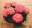 季節の贈り物「紫陽花」