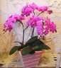 お母さんへ「ミニ胡蝶蘭の美」