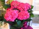 母の日ギフト「紫陽花D.Pink」